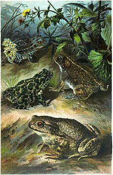 מינים שונים של קרפדות