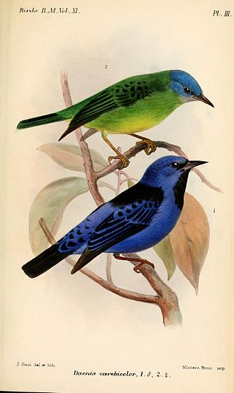 Blue dacnis - Subspecies D. c. coerebicolor, female (above) and male (below), illustration by Joseph Smit, 1886