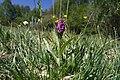 Dactylorhiza majalis in Chvalsovicke pastviny area in 2011 (4).JPG