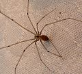 Daddy long legs. Pholcus phalangioides. - Flickr - gailhampshire.jpg