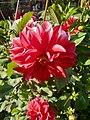 Dahlia Flowers (4).jpg