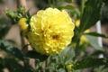 Dahlia Roi des pompons jaunes.JPG