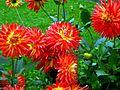 Dahlia flower 1.jpg