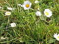 Daisy Flowers April 2014 (22).JPG