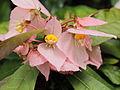 Dalechampia spathulata-IMG 0447.jpg