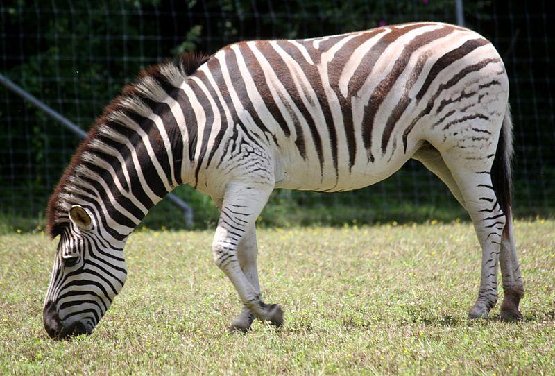 File:DamaraZebra EquusQuaggaAntiquorum3.jpg
