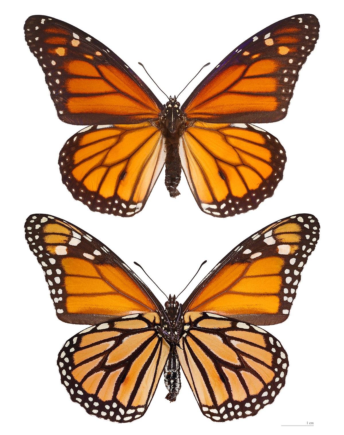 Monarque papillon wikip dia - Images de papillon ...