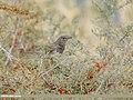 Dark-throated Thrush (Turdus ruficollis) (45236611304).jpg