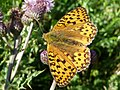 Dark Green Fritillary at Selworthy Beacon - geograph.org.uk - 1719601.jpg