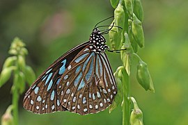 Dark blue tiger (Tirumala septentrionis dravidarum) male underside.jpg