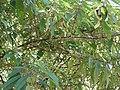 Debregeasia longifolia-3-cauvery peak-yercaud-salem-India.jpg