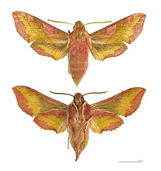 Deilephila porcellus - Deilephila porcellus - MHNT