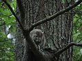 Delmarva Peninsula fox squirrel FWS 16033.jpg