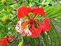 Delonix regia- Flame tree, Peacock Flower, Anasippoomaram, Poomaram.jpg