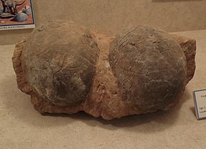 Egg fossil - Fossil Dendroolithus eggs.