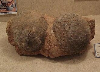 Egg fossil - Fossil Dendroolithus eggs.