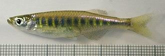 Devario - Devario auropurpureus