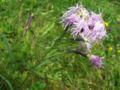 Dianthus a1.jpg