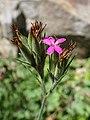 Dianthus armeria kz02.jpg