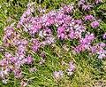 Dianthus hyssopifolius in PNR Pyrenees ariegeoises 09.jpg