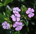 Dianthus japonicus s3.jpg