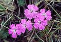 Dianthus sp. 02.jpg