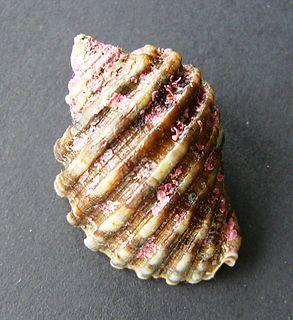 <i>Dicathais</i> genus of molluscs