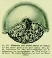 Die Frau als Hausärztin (1911) 202 Milchdrüsen eines Weibes während des Stillens.png