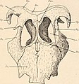 Die stämme der wirbeltiere (1919) (20938039862).jpg