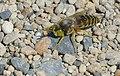 Digger Wasp (Bembix rostrata) (43085703231).jpg