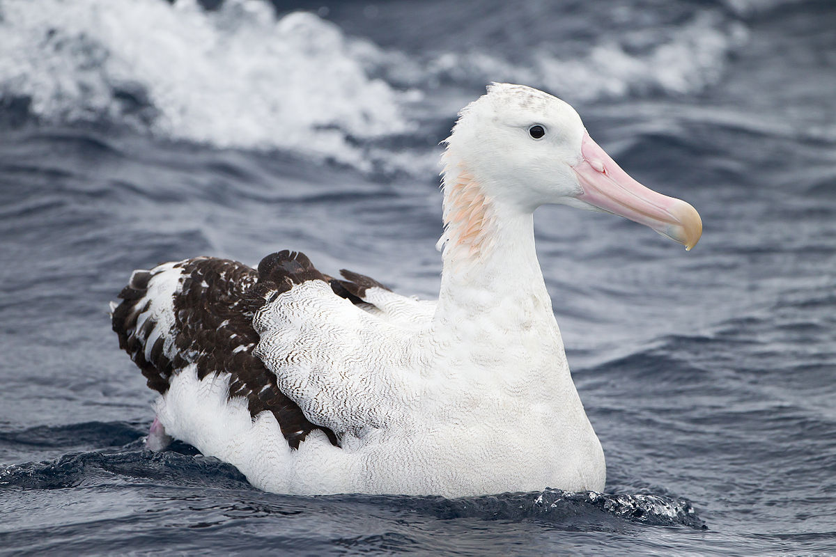 New South Wales Albatross Study Group - Wikipedia