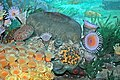 Diorama of a Devonian seafloor - solitary & colonial corals (43824569160).jpg