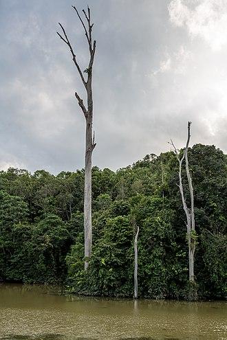 Beluran District - Image: District Beluran Virgin Jungle 01