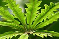 Dizygotheca elegantissima (10).jpg