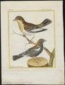 Dolichonyx oryzivora - 1700-1880 - Print - Iconographia Zoologica - Special Collections University of Amsterdam - UBA01 IZ15800285.tif