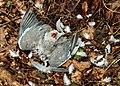 Door sperwer (Accipiter nisus) gedode houtduif (Columba palumbus). Locatie, Natuurterrein De Famberhorst 04.jpg