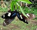 Doris Longwing (Heliconius doris red) - Laparus doris. . Blue colour form in front.. - Flickr - gailhampshire.jpg