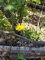 Doroncium sp. Asteraceae 02.jpg
