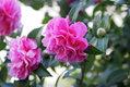 Double-flowered Camellia.jpg