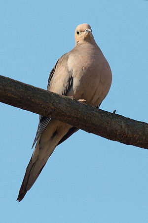 English: A mourning dove (Zenaida macroura), t...