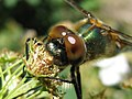 Dragonfly eyes are Super Martial Perseverance Rover on Earth.jpg