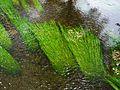 Dronne Bourdeilles herbes aquatiques (4).JPG