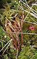 Drosera longifolia N.jpg
