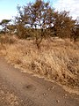 Drying grass located in Amboseli enhances the experience of the wild.jpg