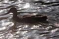 Duck - Stanborough Lakes August 2009 (3845890125).jpg