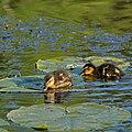 Ducklings joakimB.jpg