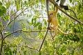 Dusky Langur juvenile, Trachypithecus obscurus, in Kaeng Krachan national park (25803606386).jpg