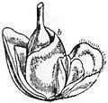 EB1911 - Maize - Fig. 5.—Female Spikelet.jpg