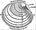 EB1911 Lamellibranchia - right valve of shell of Cytherea from the outer face.jpg
