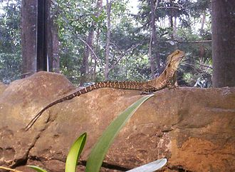 Brisbane Forest Park - Eastern water dragon at the Walk-About Creek Wildlife Centre